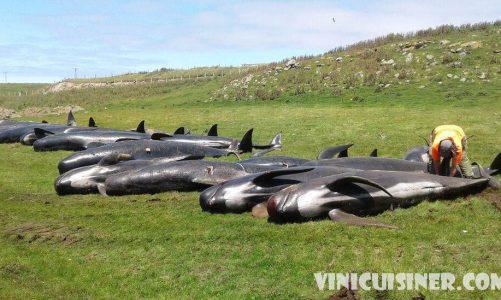 วาฬเกยตื้น จำนวน 40 ตัวที่ถูกกลั่นแกล้งในนิวซีแลนด์