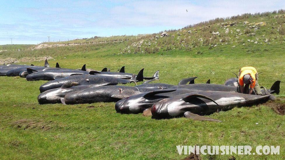 วาฬเกยตื้น จำนวน 40 ตัวที่ถูกกลั่นแกล้งในนิวซีแลนด์ แต่ความกลัวยังคงอยู่ อาสาสมัครในนิวซีแลนด์ประสบความสำเร็จในการเติมวาฬ 40 ตัวที่เกยตื้น